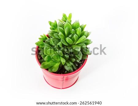 Haworthia succulent plant in vivid pot on white background  - stock photo