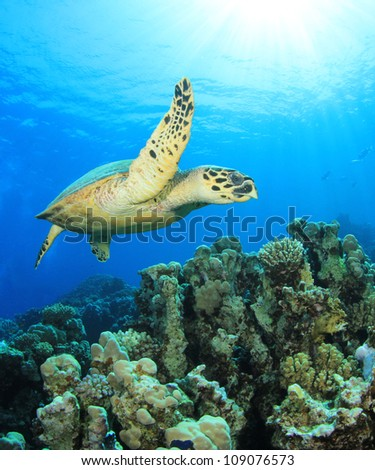 Hawsbill Turtle on coral reef in the Red Sea