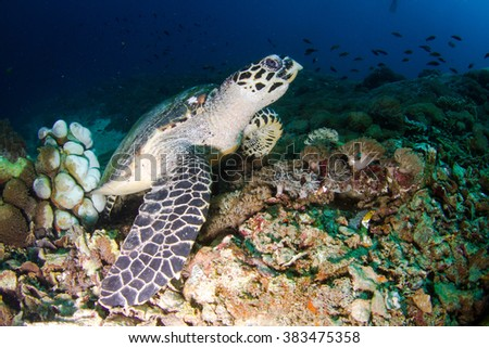 Hawskbille / Green Sea tirtle close up. Turtle eating at shallow water of Nusa Penida, Indonesia.