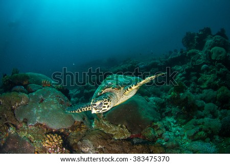 Hawskbille / Green Sea tirtle close up. Turtle eating at shallow water of Nusa Penida, Indonesia. - stock photo