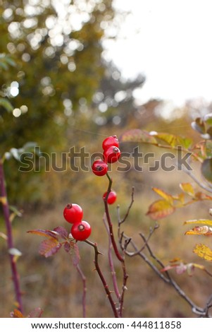 hawthorn - stock photo