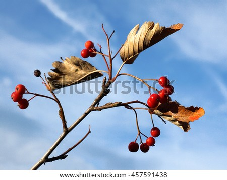 Hawthorn branch with ripe berries against a bright blue sky in the fall - stock photo