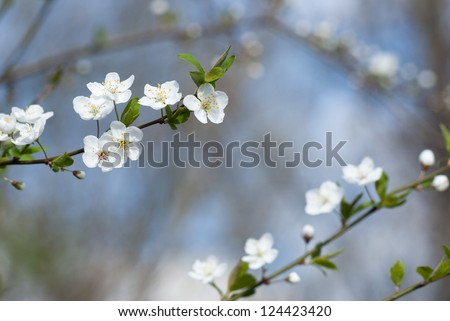 hawthorn flowers blooming on branch, springtime - stock photo