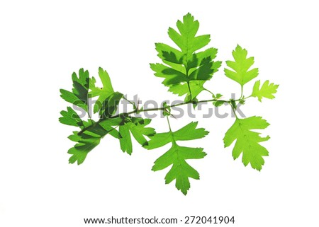 Hawthorn leaves (Crataegus), isolated in front of white background
