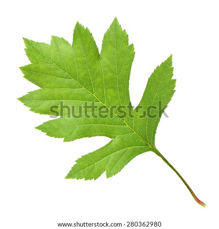 Hawthorn leaves on white background - stock photo