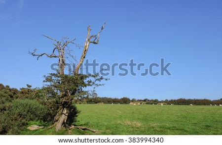 Hawthorn Tree Covered by Holly (Ilex) with Sheep Grazing in the Background on Moorland near Tarr Steps within Exmoor National Park, Somerset,England, UK - stock photo