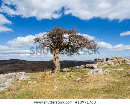 Hawthorn tree on Dartmoor devon england uk.