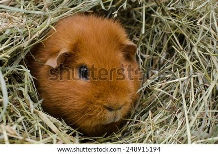 hay-pig - stock photo