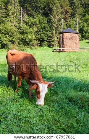 Haystack and cow on summer morning mountainside (Carpathian, Ukraine) - stock photo