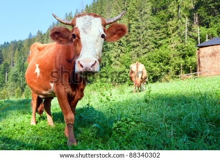 Haystack and cows on summer morning mountainside (Carpathian, Ukraine) - stock photo