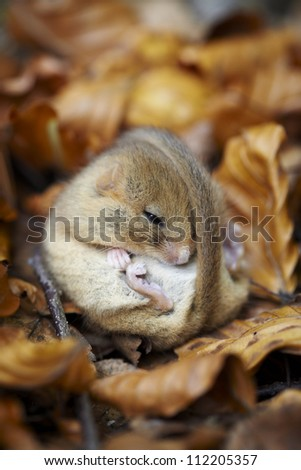 Hazel Dormouse curled up in leaves