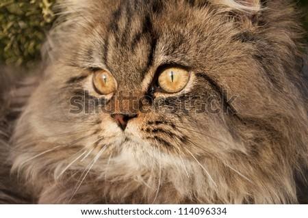 Hazel eyed Persian cat - stock photo