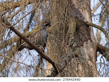 Hazel grouse on the branch