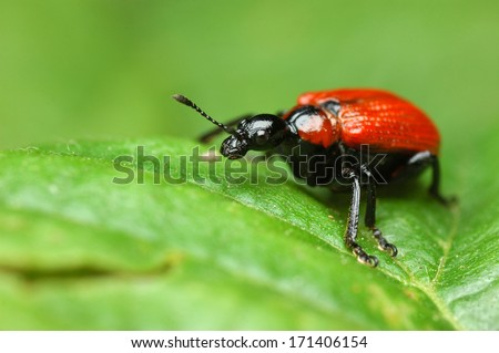 Hazel-leaf Roller Weevil - Apoderus coryli - stock photo