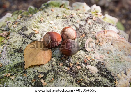 Hazelnut and yellow leaf on an old tree stump. Nature