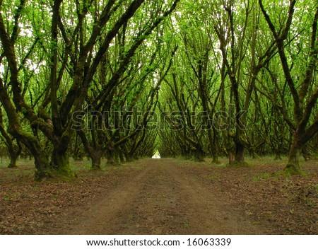Hazelnut Orchard - stock photo