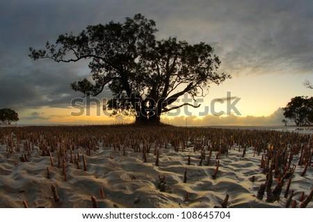 hdr Silhouette of magrove tree nudgeee beach australia brisbane - stock photo