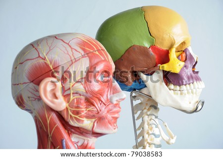head anatomy model