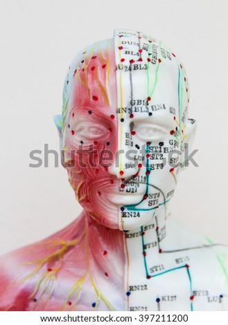 Head Anatomy Model Oriental Medicine Model Stock Photo Royalty Free