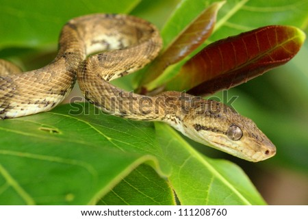 Head and face of a Boa Constrictor snake, Corallus hortulanus - stock photo