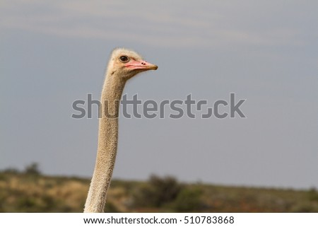 Head-and-neck closeup of a male common ostrich standing in flowery scrub in Karoo National Park in South Africa