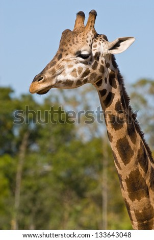 Head and neck of a giraffe facing left of camera - stock photo