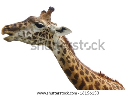 Head and neck of african giraffe isolated on white - stock photo