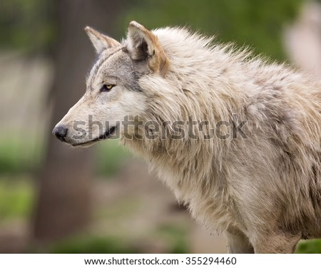 head and shoulder image of a timber wolf or grey wolf.  Shallow depth of field. - stock photo
