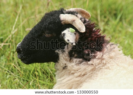 Head and shoulder of  sheep  - UK Lake district area - stock photo