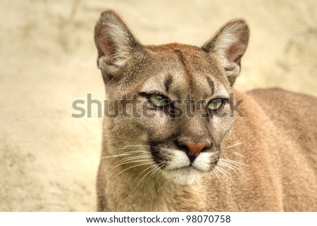 Head and shoulder picture of puma against a light background - stock photo