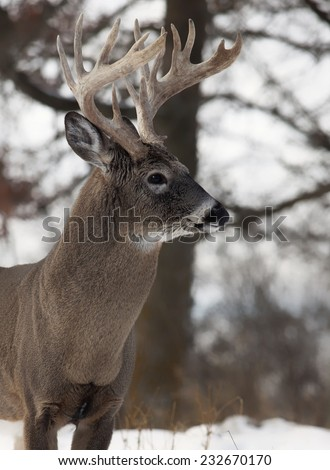 Head and shoulders image of a large white-tailed deer buck.  Late autumn in Wisconsin. - stock photo