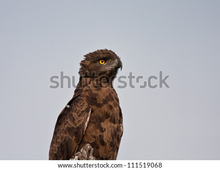 Head and shoulders of a brown snake eagle against blue sky - stock photo