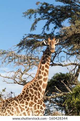 Head and shoulders photo of tall African giraffe looking down at the camera from munching at leaves in the trees - stock photo