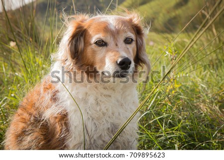 head and shoulders portrait of red and white long haired collie type sheepdog on a windy day, Gisborne, New Zealand