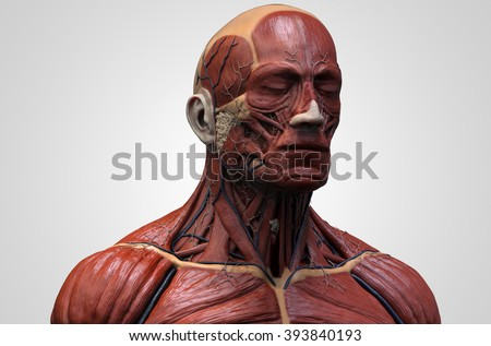 Head Torso Anatomy Human Head Shoulder Stock Illustration 393840193 ...