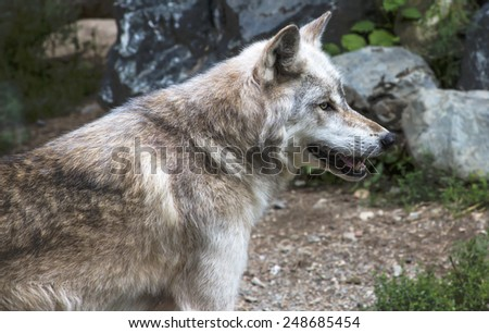 Head and torso side image of a big and healthy healthy Minnesota Gray Wolf, walking on a trail, passing a rock pile    - stock photo