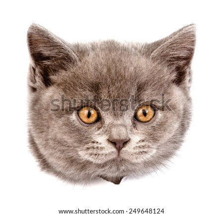 head cat in paper side torn hole. isolated on white background - stock photo