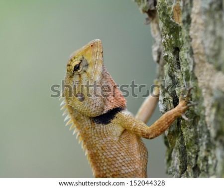 Head closeup of brown lizard, female of blue lizard, lizard sitting on tree