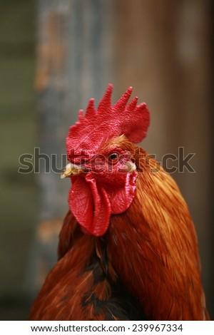 head cock - stock photo