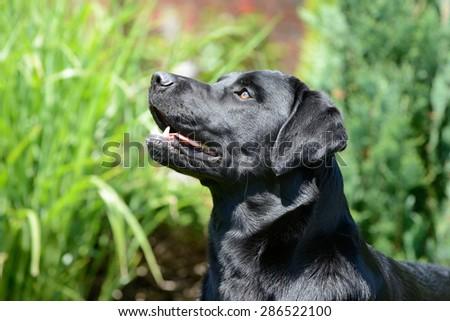 Head from black labrador - stock photo
