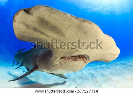Head mouth and teeth close up of a great hammerhead shark Bimini, Bahamas