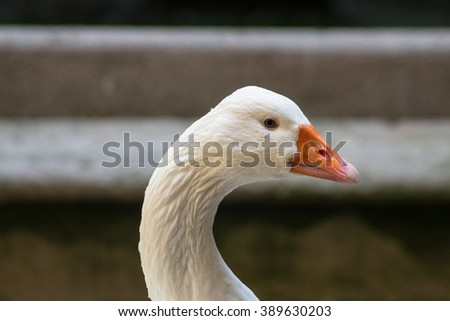 Head of a beautiful white goose in front of a grey background.