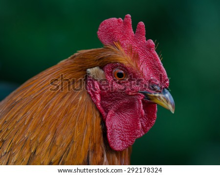 Head of a big colorful cock - stock photo