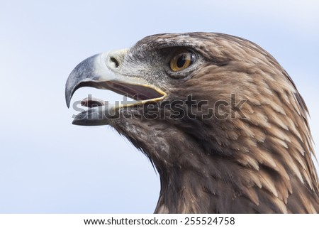 head of a brown european golden eagle with open beak in front of the blue sky - stock photo