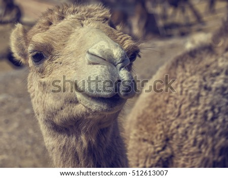 Head of a camel in close up