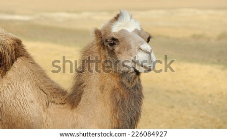 Head of a camel on a nature background
