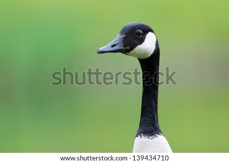 Head of a Canada goose