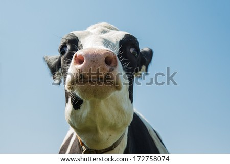 Head of a cow - stock photo