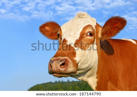 Head of a cow against the sky.  - stock photo