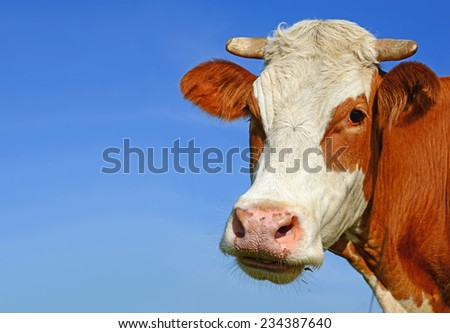 Head of a cow against the sky - stock photo